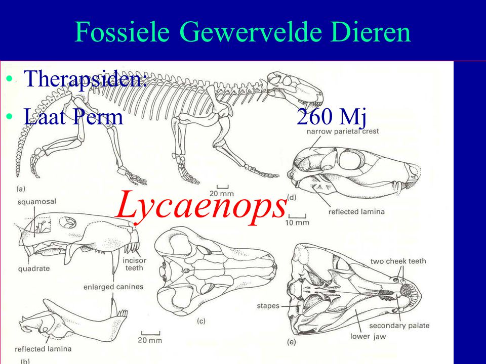 9 Therapsiden: Laat Perm260 Mj Fossiele Gewervelde Dieren Lycaenops