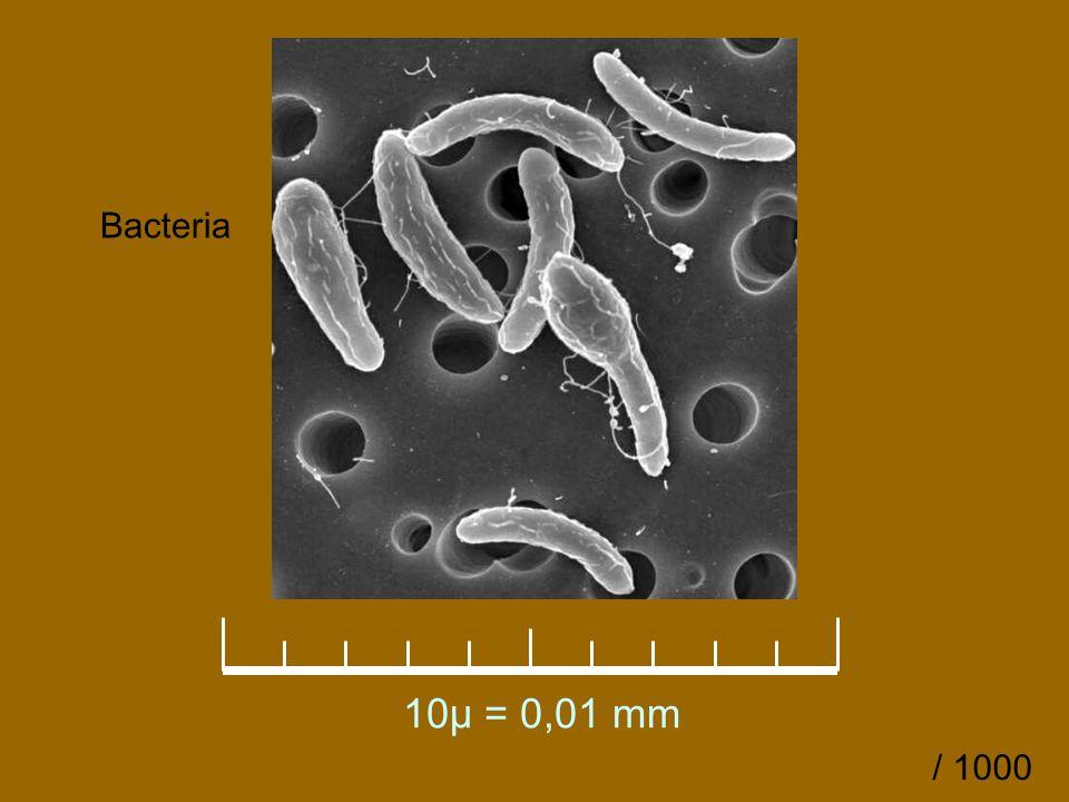 10µ = 0,01 mm Bacteria / 1000
