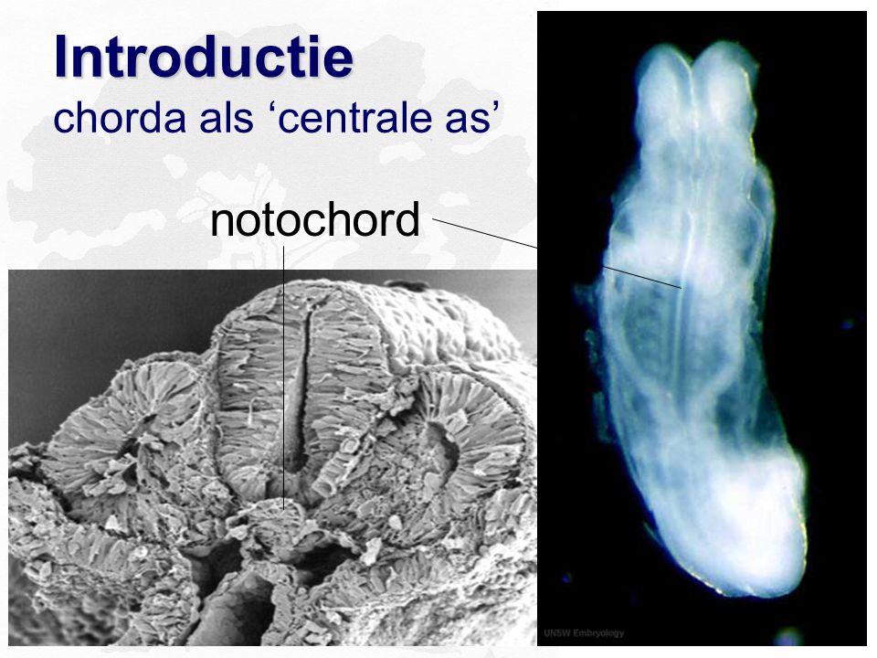 Introductie Introductie chorda als 'centrale as' notochord
