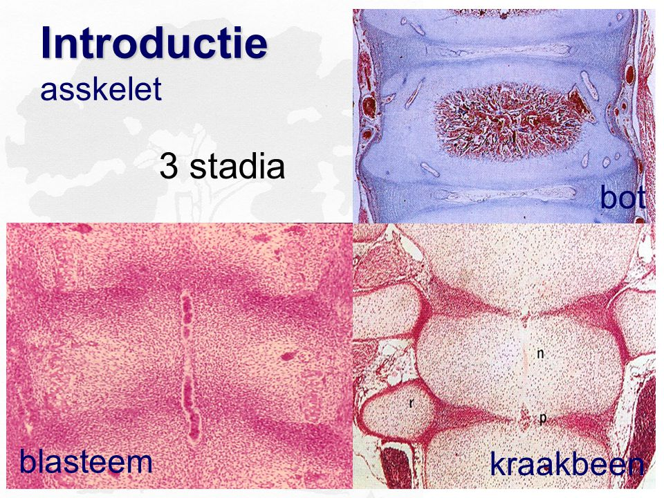 Introductie Introductie asskelet blasteem bot kraakbeen 3 stadia