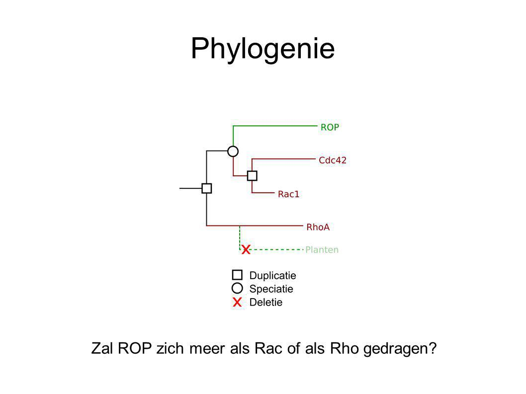 Phylogenie Zal ROP zich meer als Rac of als Rho gedragen?