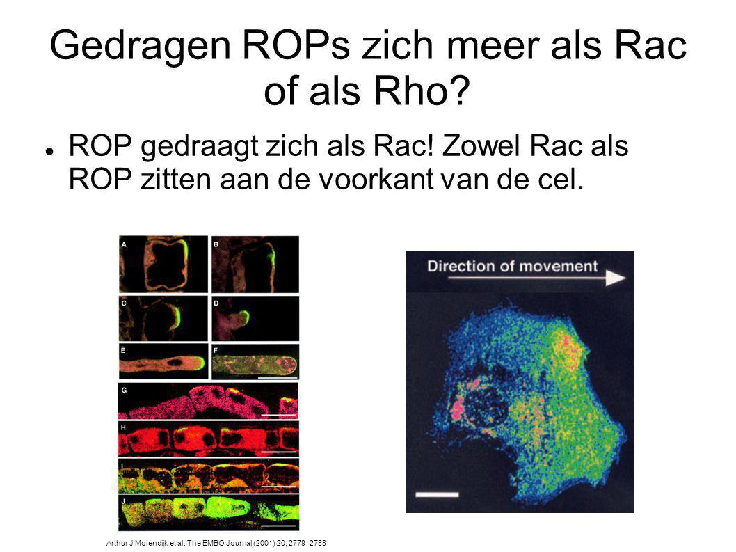 Gedragen ROPs zich meer als Rac of als Rho? Arthur J Molendijk et al. The EMBO Journal (2001) 20, 2779–2788 ROP gedraagt zich als Rac! Zowel Rac als R
