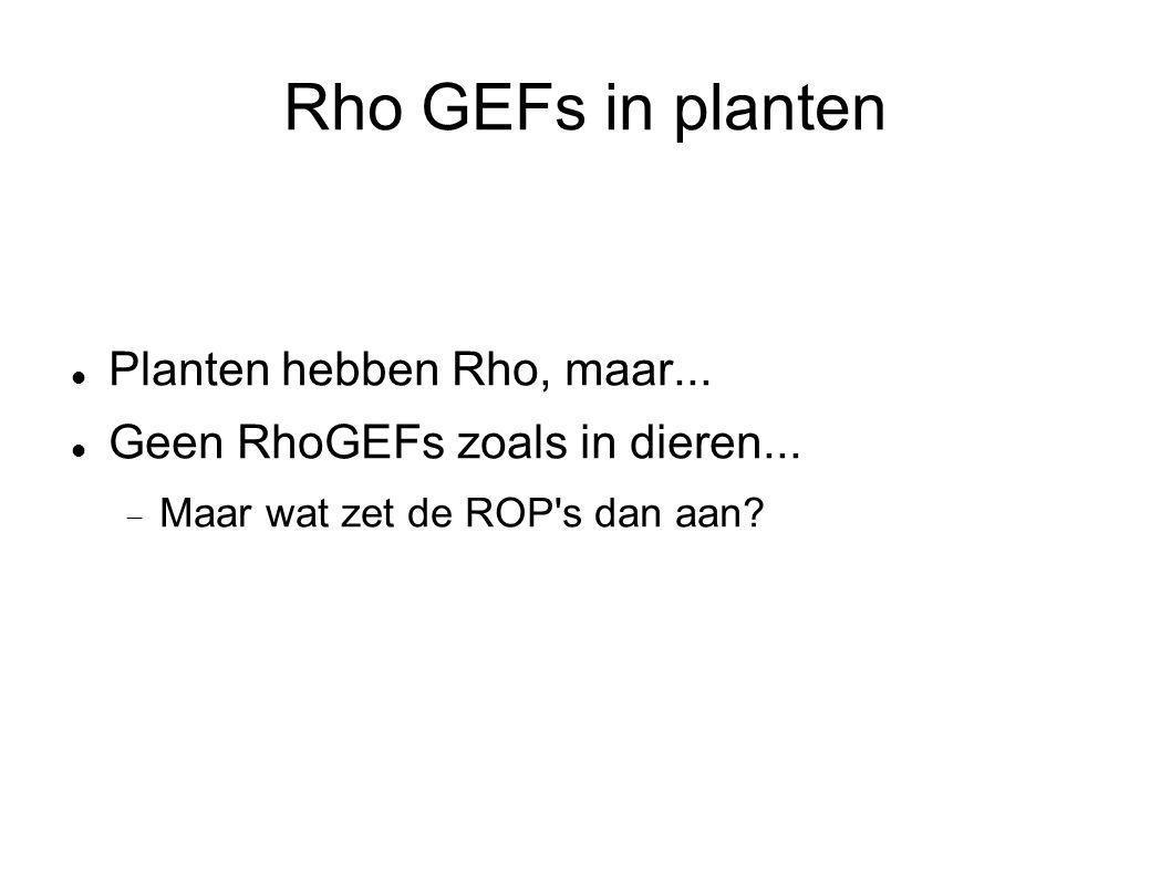 Rho GEFs in planten Planten hebben Rho, maar... Geen RhoGEFs zoals in dieren...  Maar wat zet de ROP's dan aan?