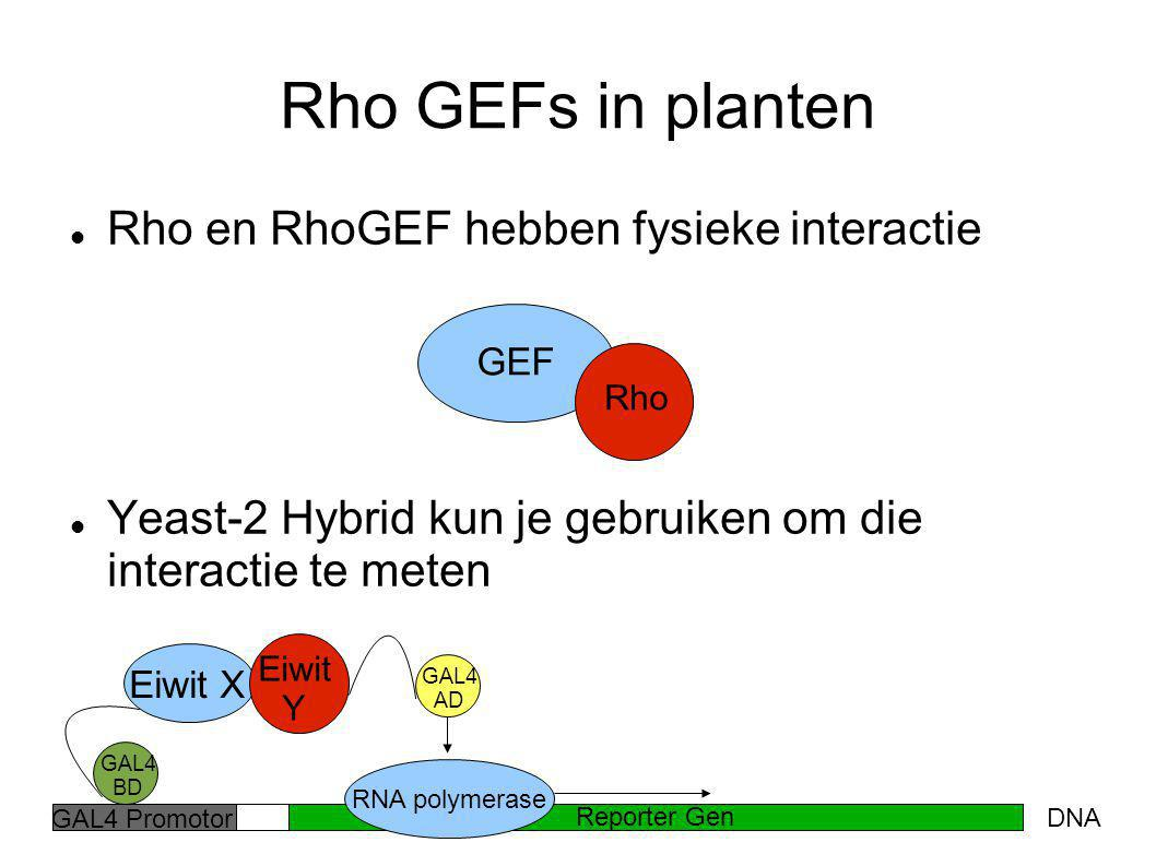 Rho GEFs in planten Rho en RhoGEF hebben fysieke interactie Yeast-2 Hybrid kun je gebruiken om die interactie te meten GEF Reporter Gen DNA GAL4 BD Ei