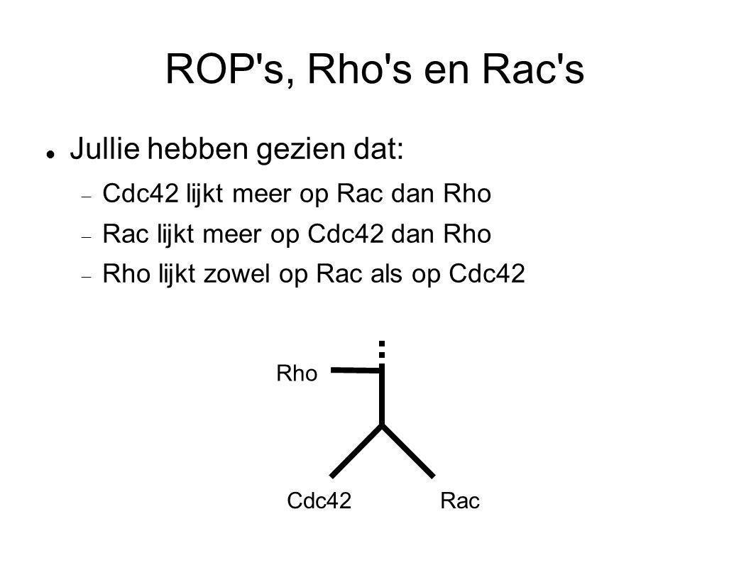 ROP's, Rho's en Rac's Jullie hebben gezien dat:  Cdc42 lijkt meer op Rac dan Rho  Rac lijkt meer op Cdc42 dan Rho  Rho lijkt zowel op Rac als op Cd