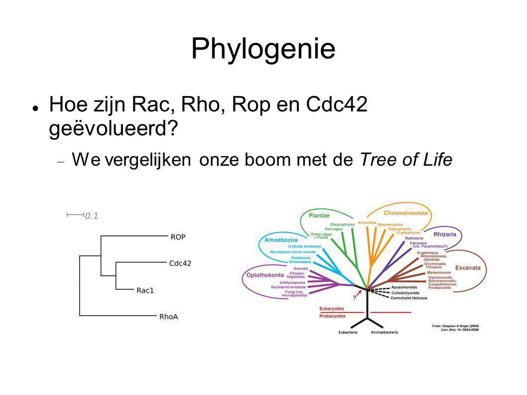 Phylogenie Hoe zijn Rac, Rho, Rop en Cdc42 geëvolueerd?  We vergelijken onze boom met de Tree of Life