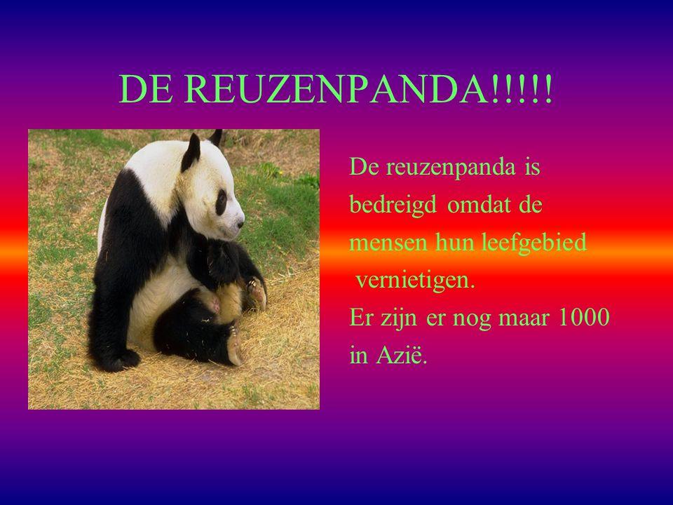 DE REUZENPANDA!!!!.De reuzenpanda is bedreigd omdat de mensen hun leefgebied vernietigen.
