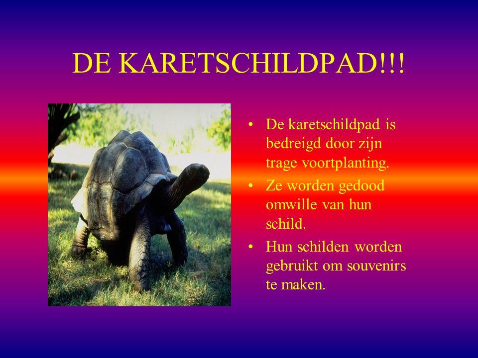 DE KARETSCHILDPAD!!.De karetschildpad is bedreigd door zijn trage voortplanting.