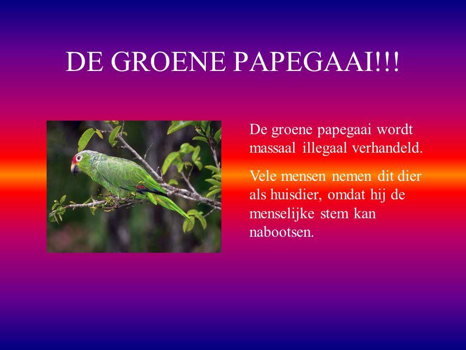 DE GROENE PAPEGAAI!!.De groene papegaai wordt massaal illegaal verhandeld.