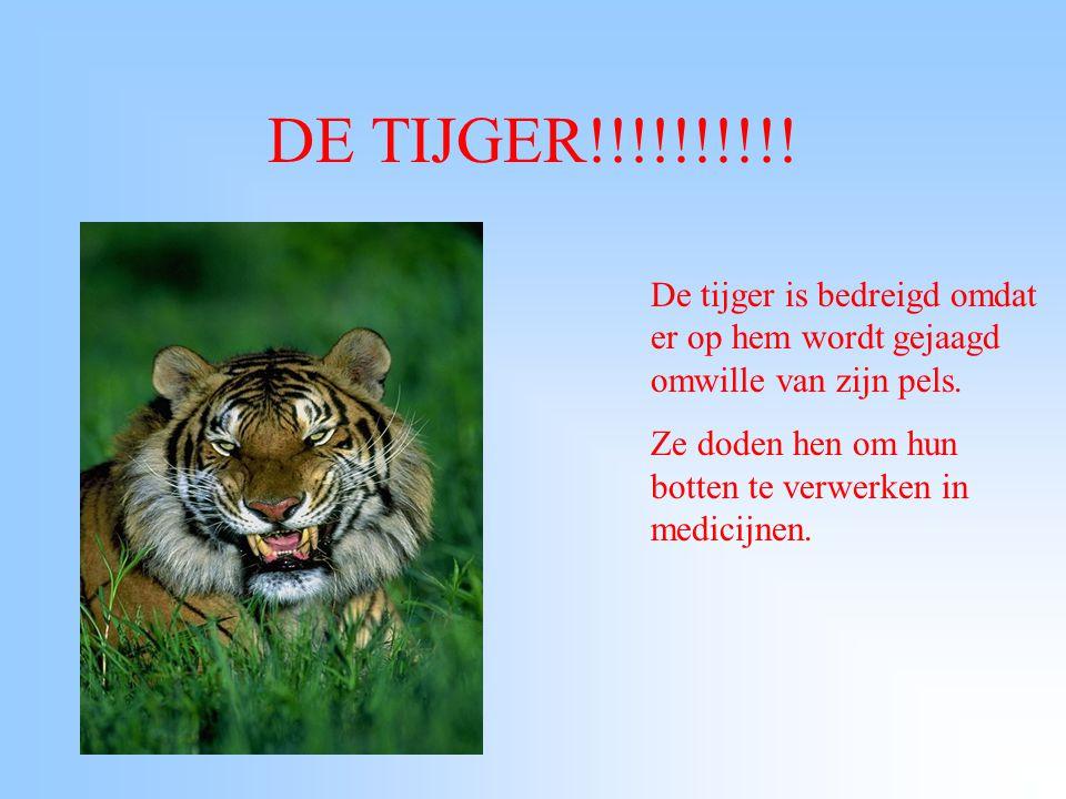 DE TIJGER!!!!!!!!!.De tijger is bedreigd omdat er op hem wordt gejaagd omwille van zijn pels.
