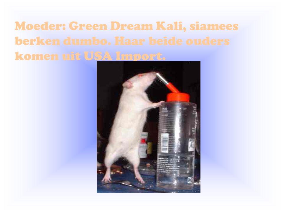 Moeder: Green Dream Kali, siamees berken dumbo. Haar beide ouders komen uit USA Import.