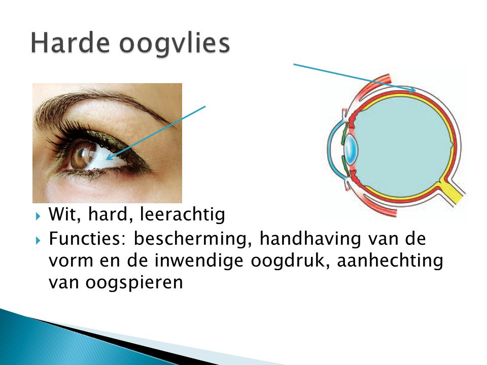  Wit, hard, leerachtig  Functies: bescherming, handhaving van de vorm en de inwendige oogdruk, aanhechting van oogspieren