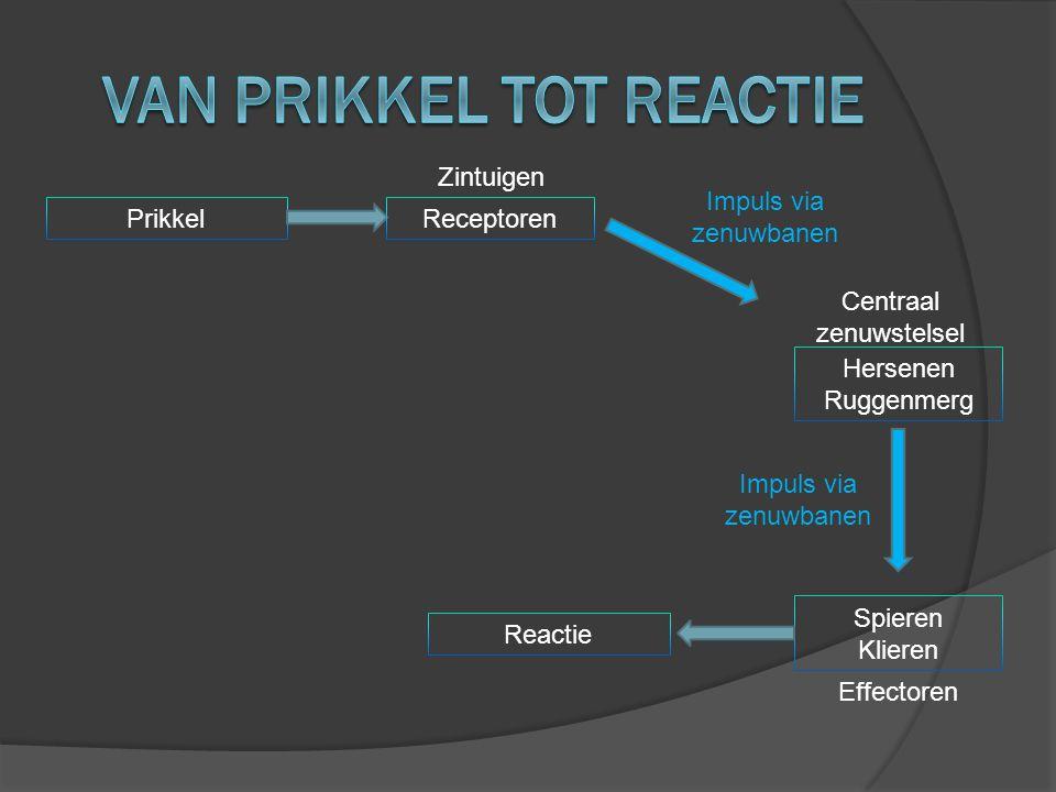 Prikkel Reactie Zintuigen Receptoren Hersenen Ruggenmerg Centraal zenuwstelsel Spieren Klieren Effectoren Impuls via zenuwbanen