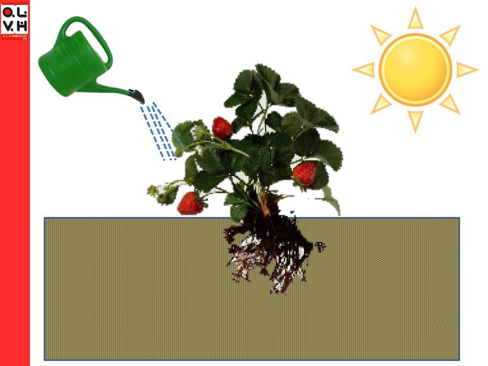 De plant als zetmeelfabriek Massa zaadje < massa boom