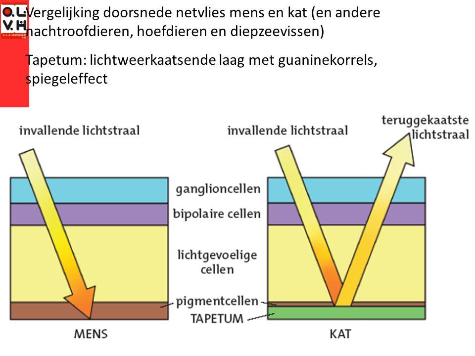 Vergelijking doorsnede netvlies mens en kat (en andere nachtroofdieren, hoefdieren en diepzeevissen) Tapetum: lichtweerkaatsende laag met guaninekorrels, spiegeleffect