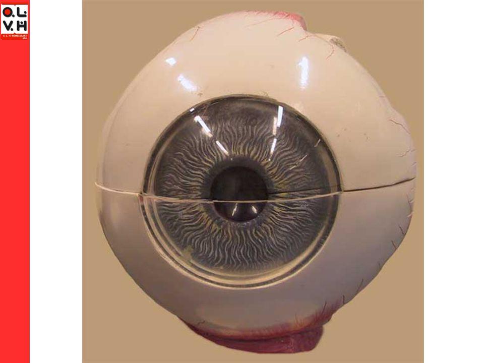 Plaats waar de oogzenuw het oog verlaat Geen zintuigcellen Plek waar iedereen blind is. Blinde vlek