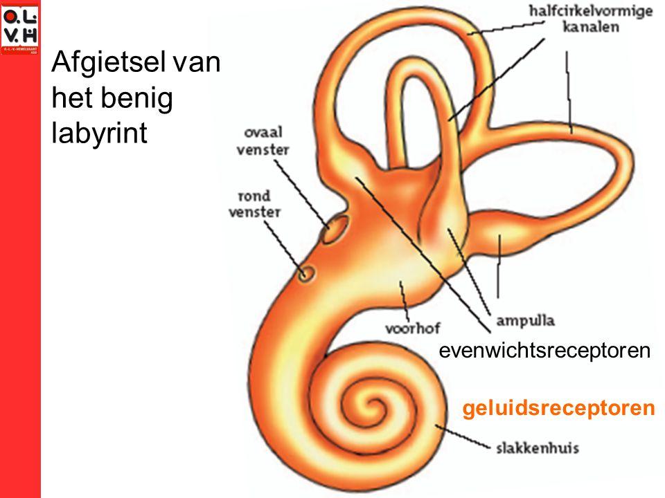 Afgietsel van het benig labyrint geluidsreceptoren evenwichtsreceptoren