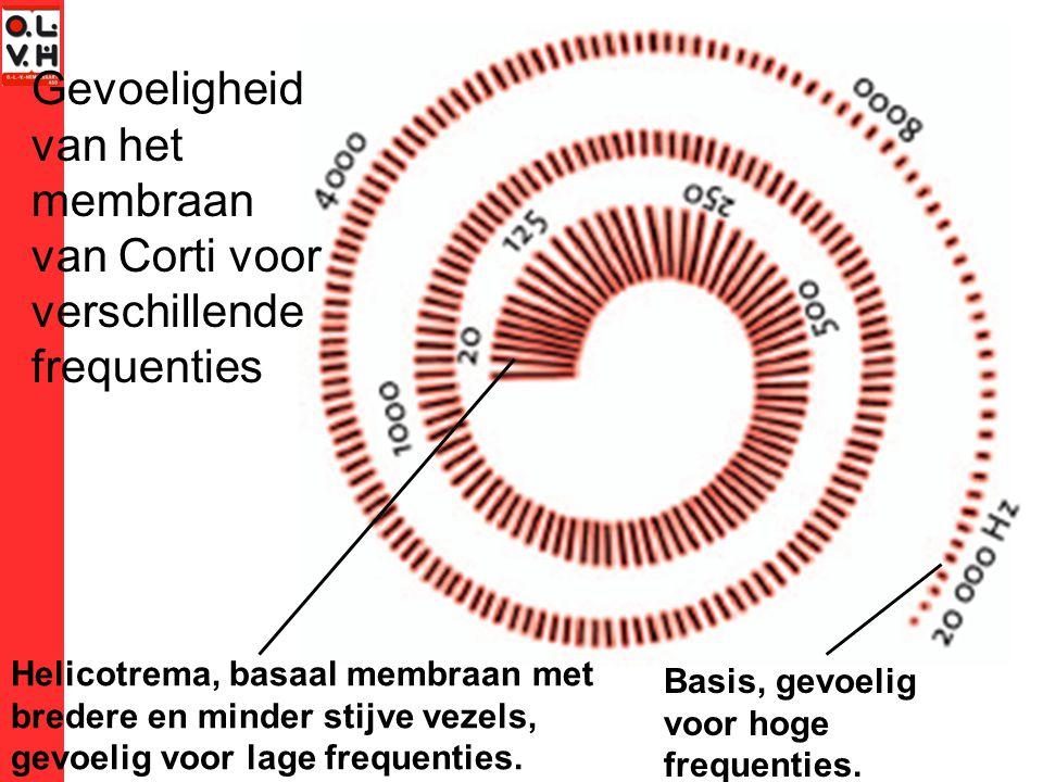 Gevoeligheid van het membraan van Corti voor verschillende frequenties Helicotrema, basaal membraan met bredere en minder stijve vezels, gevoelig voor