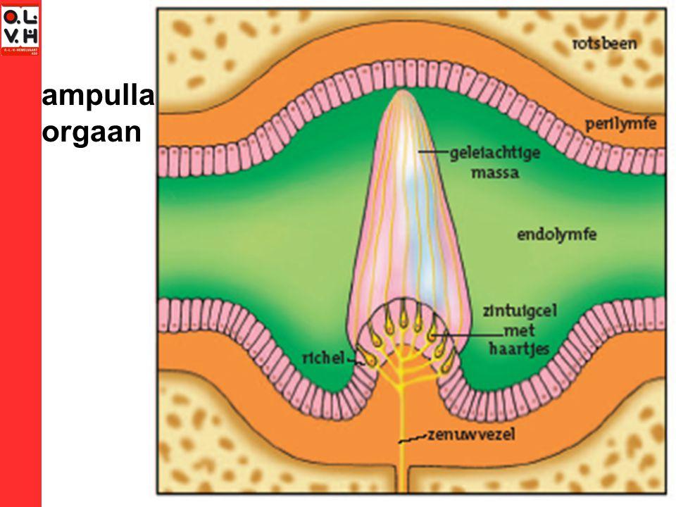 ampulla orgaan