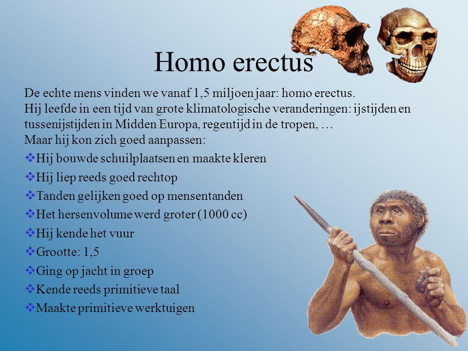 Homo erectus De echte mens vinden we vanaf 1,5 miljoen jaar: homo erectus.