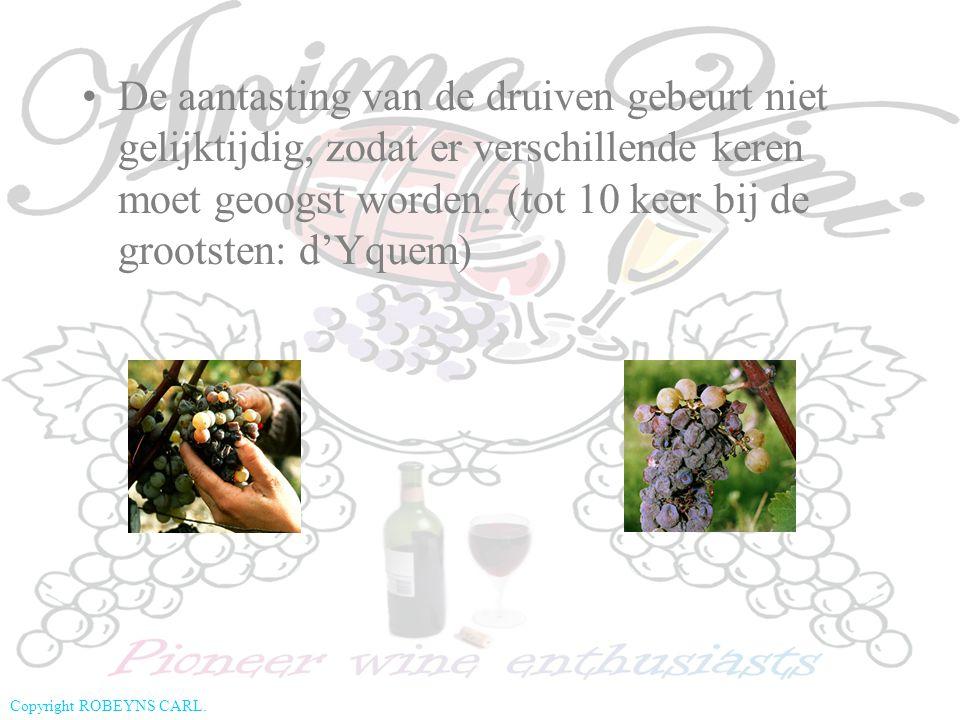 Copyright ROBEYNS CARL. De aantasting van de druiven gebeurt niet gelijktijdig, zodat er verschillende keren moet geoogst worden. (tot 10 keer bij de