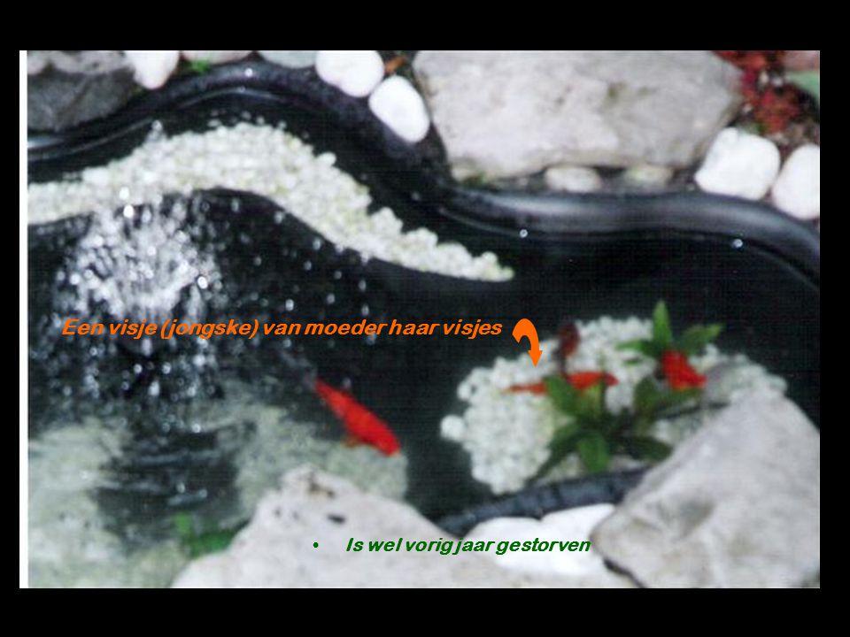 Een visje (jongske) van moeder haar visjes Is wel vorig jaar gestorven