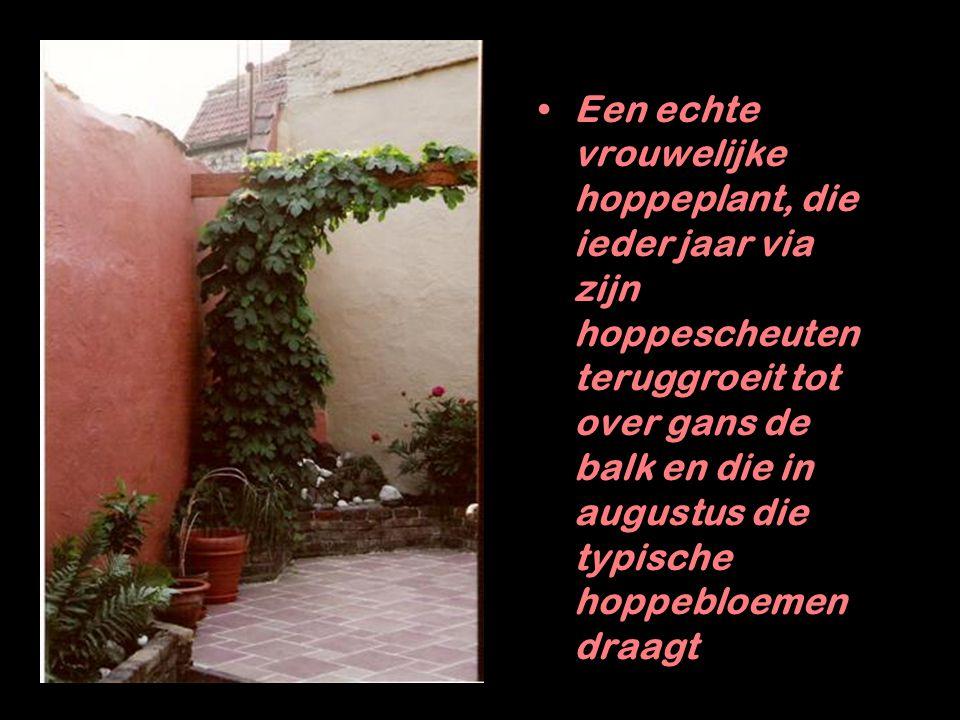 Een echte vrouwelijke hoppeplant, die ieder jaar via zijn hoppescheuten teruggroeit tot over gans de balk en die in augustus die typische hoppebloemen draagt