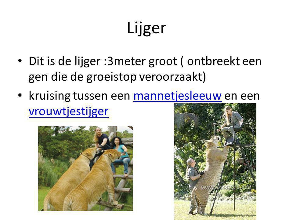 Lijger Dit is de lijger :3meter groot ( ontbreekt een gen die de groeistop veroorzaakt) kruising tussen een mannetjesleeuw en een vrouwtjestijgermannetjesleeuw vrouwtjestijger