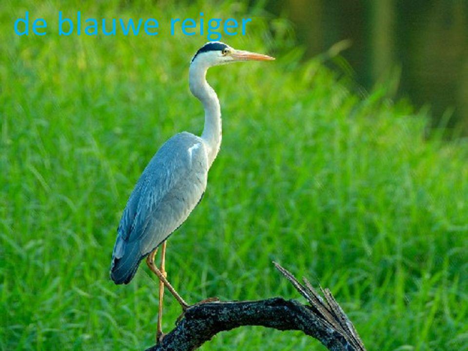 voedsel Vissen van 10 – 16 cm lengte vormen de hoofdschotel van het menu van de blauwe reiger, zoals voorn in rietvelden, forellen in stromend water, maar ook stekelbaars,paling,baars, snoekgrondel, zeelt, alver, karper en brasem.