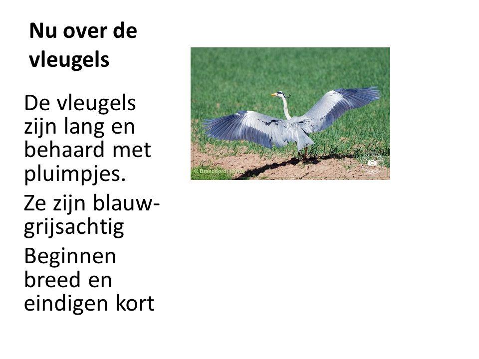 Nu over de vleugels De vleugels zijn lang en behaard met pluimpjes. Ze zijn blauw- grijsachtig Beginnen breed en eindigen kort