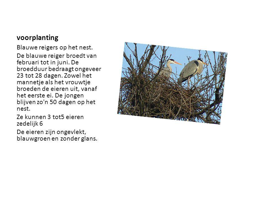 voorplanting Blauwe reigers op het nest. De blauwe reiger broedt van februari tot in juni. De broedduur bedraagt ongeveer 23 tot 28 dagen. Zowel het m