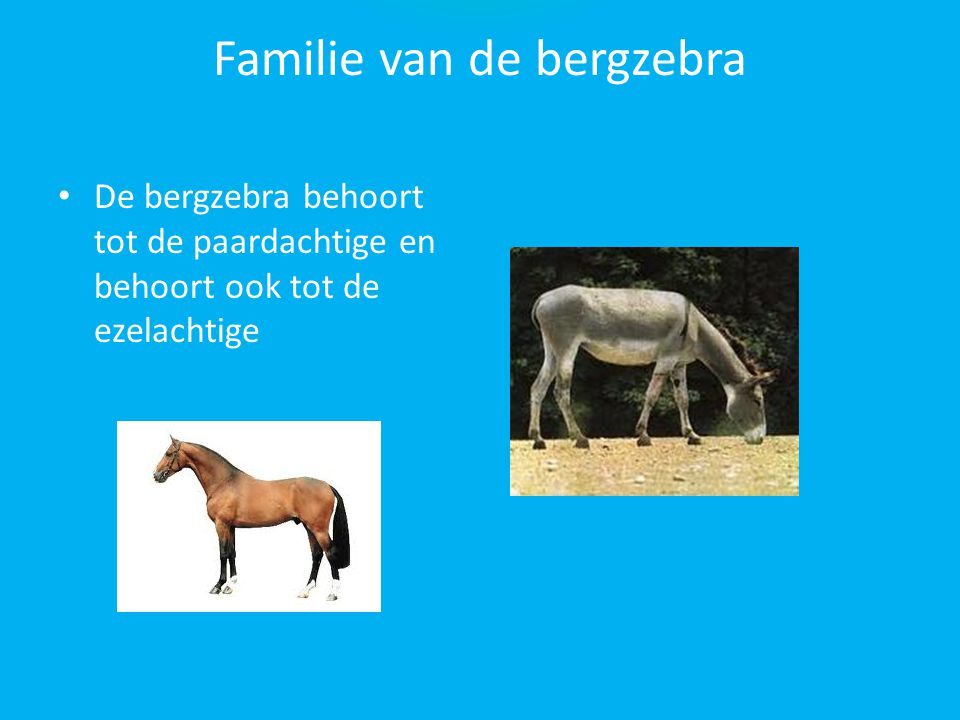 De verschillen zoeken De grévy-zebra de steppezebra de albinozebra en de bergzebra Zijn niet de zelfde ze hebben elk een andere pels kijk maar eens go