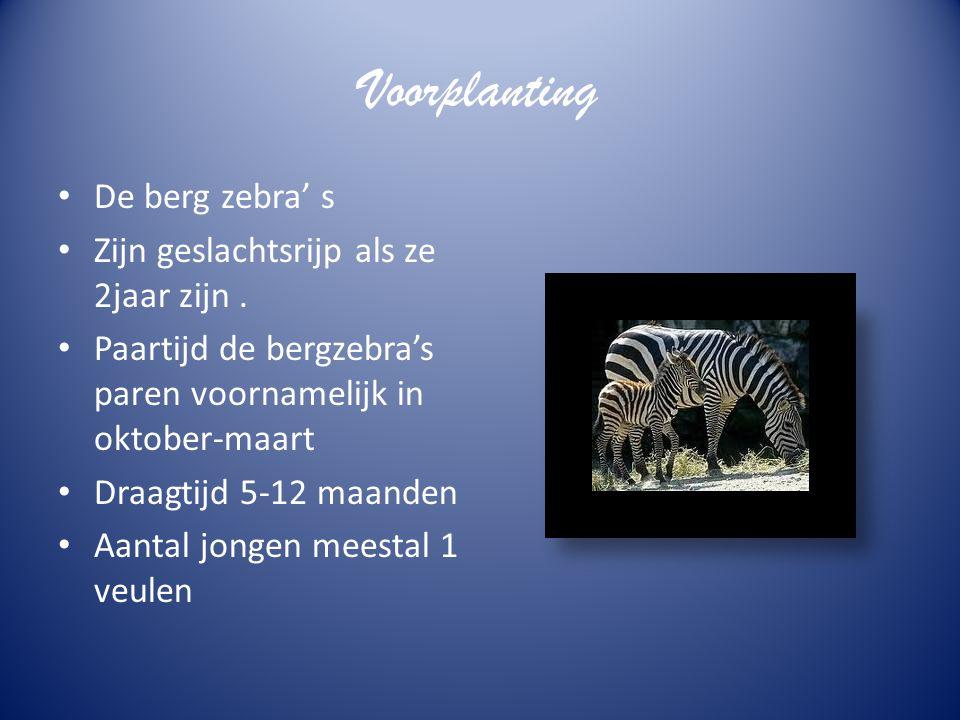 Gedrag De bergzebra leeft in familie groepen dat zijn kleine kuddes vaak in los verband met antilopen