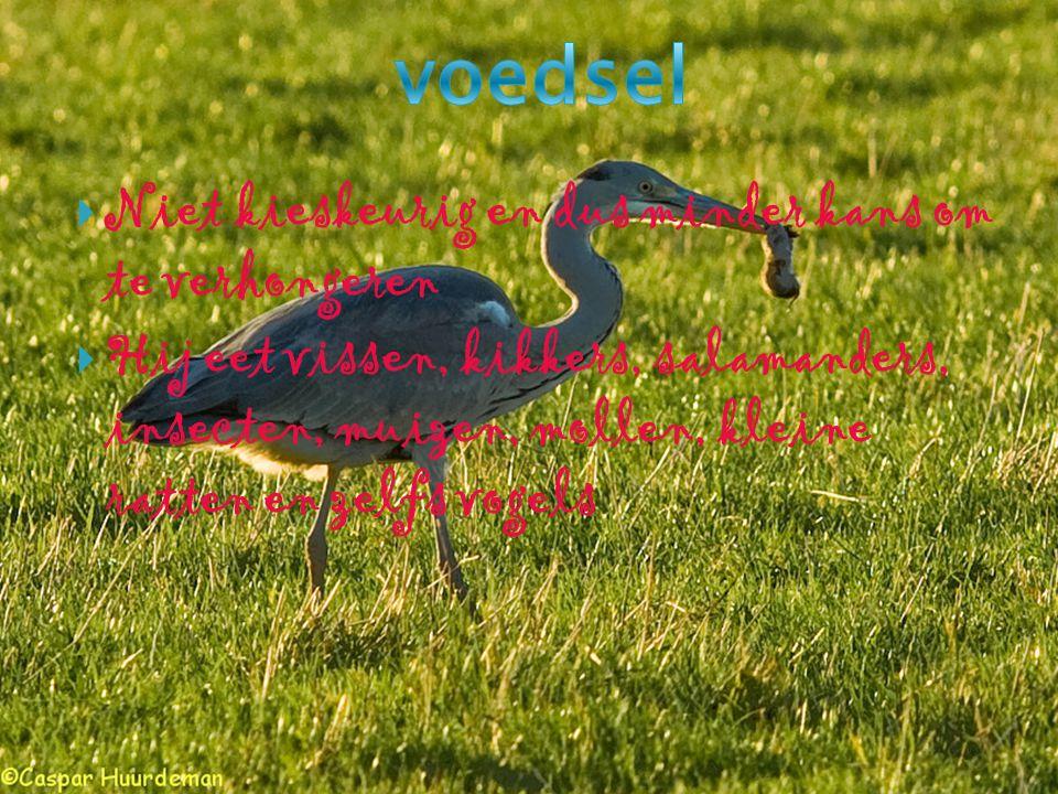  Veel geduld  Hij is een waadvogel (geen zwemvliezen)  Lange slanke poten  vissen denken dat zijn poten rietstengels zijn  Zijn hals is s-vormig