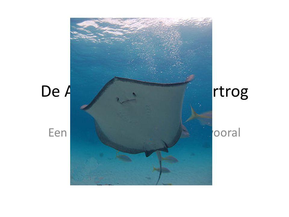 De Amerikaanse pijlstaartrog Een zeer gevaarlijk zeewezen,, vooral de staart…