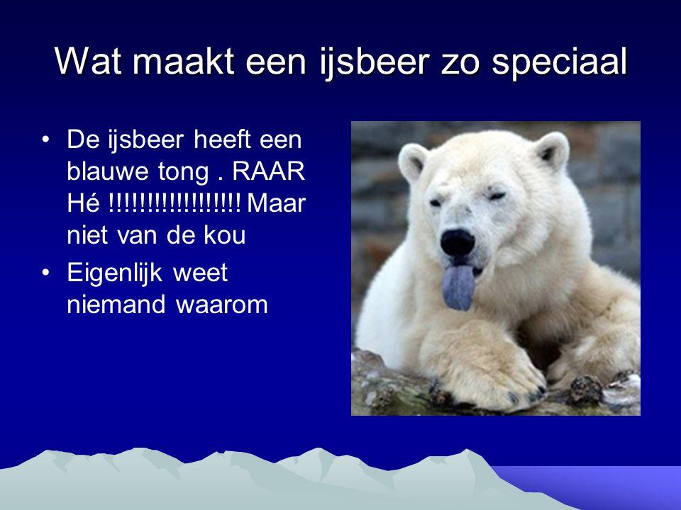 Wat maakt een ijsbeer zo speciaal De ijsbeer heeft een blauwe tong. RAAR Hé !!!!!!!!!!!!!!!!!! Maar niet van de kou Eigenlijk weet niemand waarom