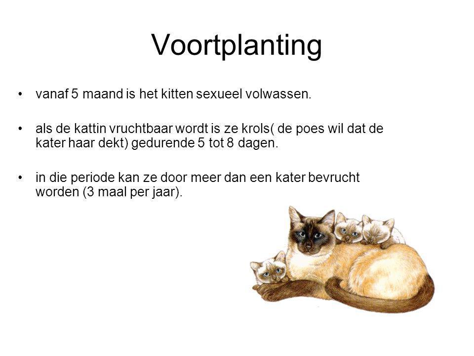 Voortplanting vanaf 5 maand is het kitten sexueel volwassen. als de kattin vruchtbaar wordt is ze krols( de poes wil dat de kater haar dekt) gedurende
