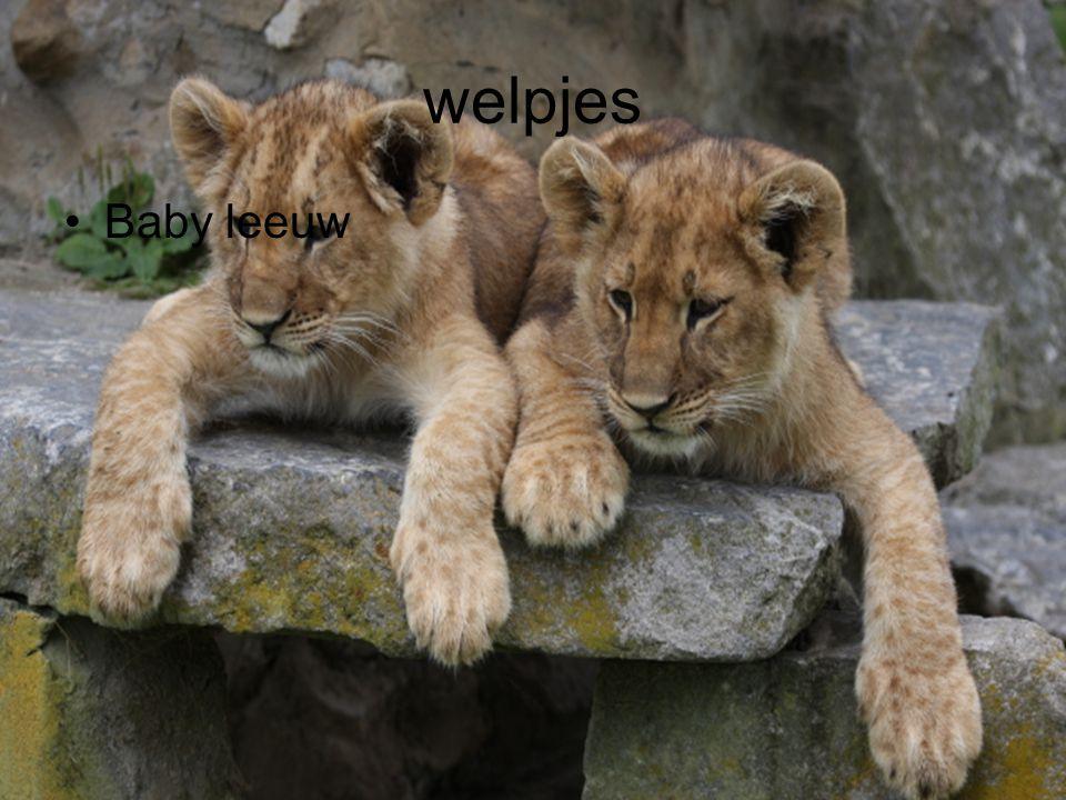welpjes Baby leeuw