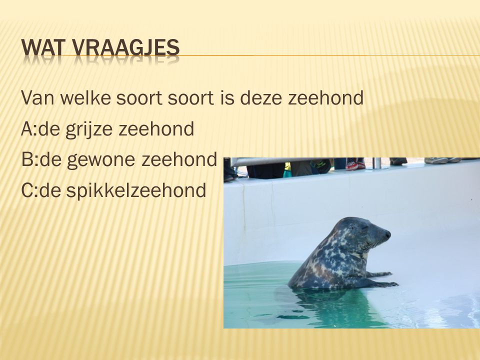 Van welke soort soort is deze zeehond A:de grijze zeehond B:de gewone zeehond C:de spikkelzeehond