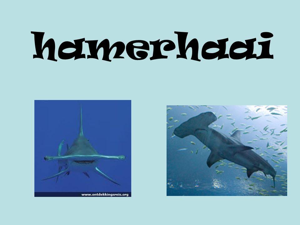 hamerhaai