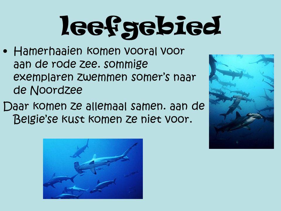 leefgebied Hamerhaaien komen vooral voor aan de rode zee. sommige exemplaren zwemmen somer's naar de Noordzee Daar komen ze allemaal samen. aan de Bel