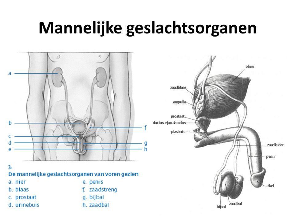Mannelijke geslachtsorganen