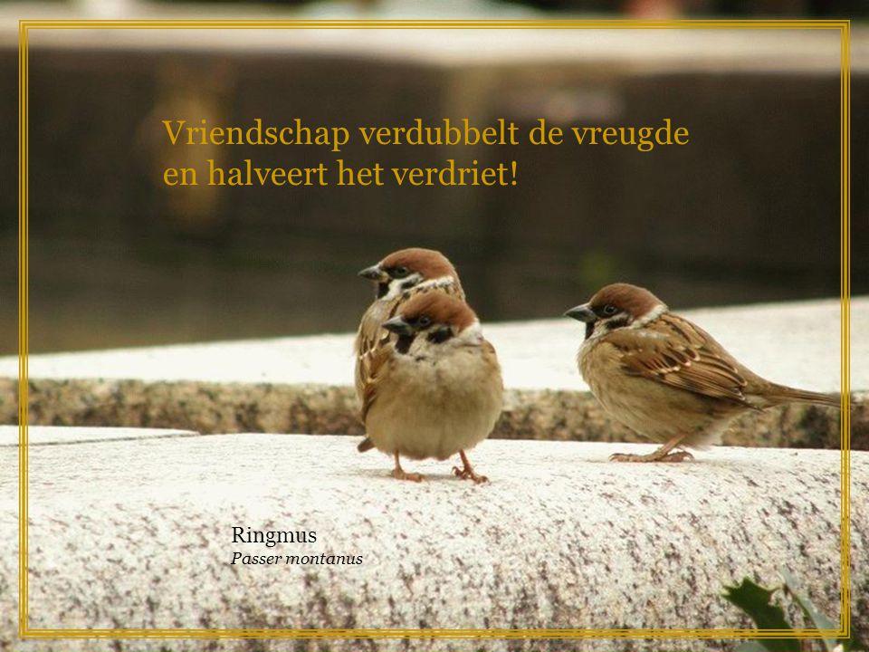 Een leven zonder dromen is als een tuin zonder bloemen! Vink Fringilla coelebs