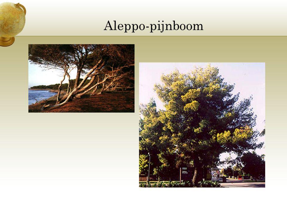 Aleppo-pijnboom