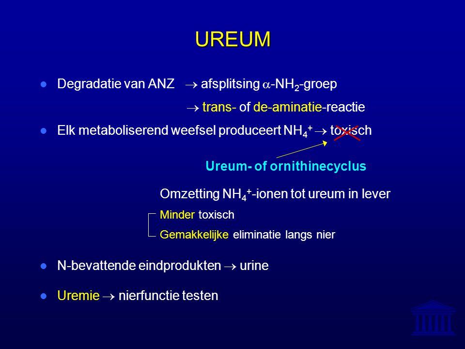 UREUM Degradatie van ANZ  afsplitsing  -NH 2 -groep  trans- of de-aminatie-reactie Elk metaboliserend weefsel produceert NH 4 +  toxisch Ureum- of