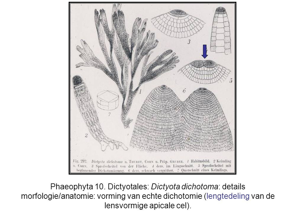 Phaeophyta 10. Dictyotales: Dictyota dichotoma: details morfologie/anatomie: vorming van echte dichotomie (lengtedeling van de lensvormige apicale cel