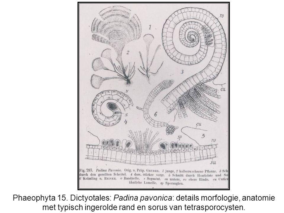 Phaeophyta 15. Dictyotales: Padina pavonica: details morfologie, anatomie met typisch ingerolde rand en sorus van tetrasporocysten.