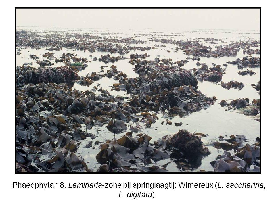 Phaeophyta 18. Laminaria-zone bij springlaagtij: Wimereux (L. saccharina, L. digitata).