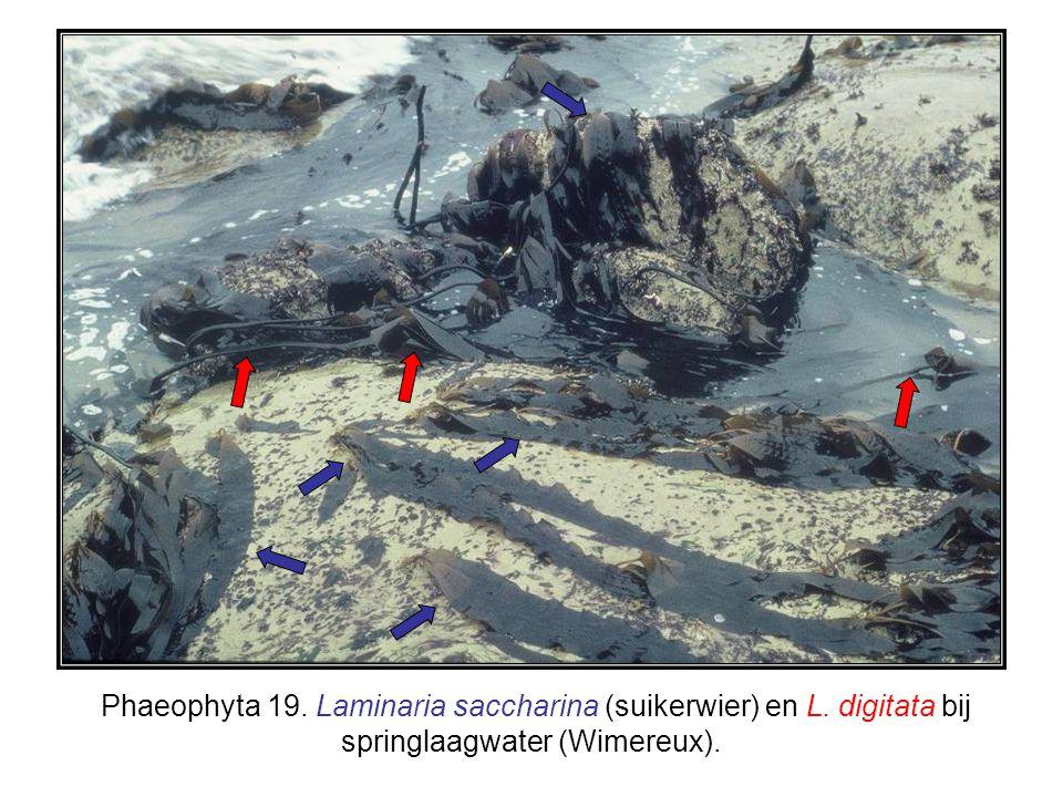 Phaeophyta 19. Laminaria saccharina (suikerwier) en L. digitata bij springlaagwater (Wimereux).
