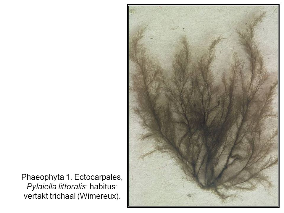Phaeophyta 1. Ectocarpales, Pylaiella littoralis: habitus: vertakt trichaal (Wimereux).